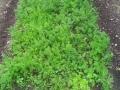 14 carote