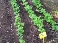 21 fagiolini verdi